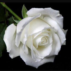 rose 20.06